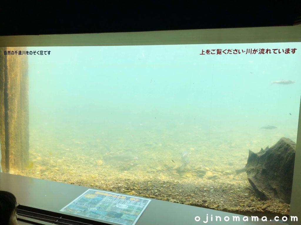 千歳水族館水中観察ゾーン